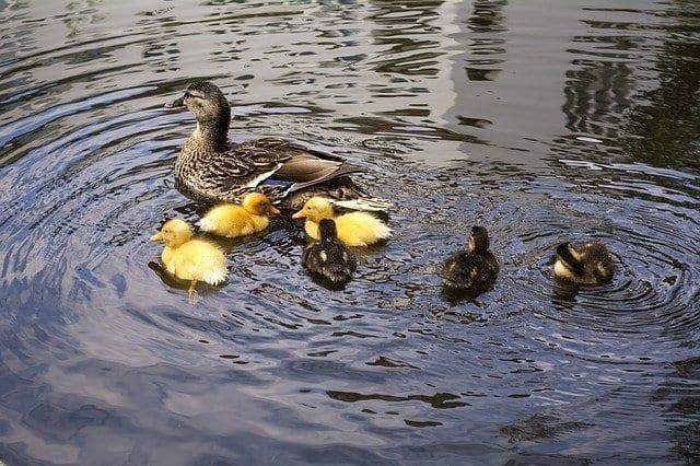 feed ducks in nashville, nashville parthenon